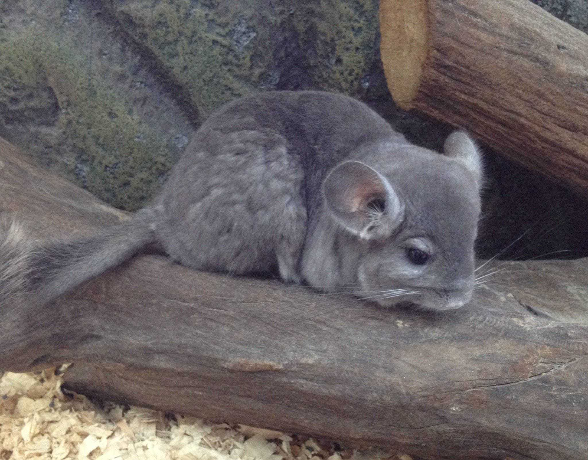 Chinchilla High Quality Wallpapers