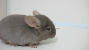 Chinchilla Images