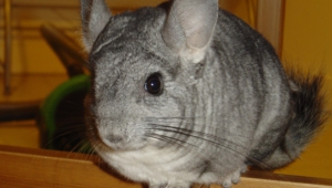 Chinchilla Wallpaper