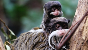Emperor Tamarin Background