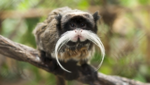 Emperor Tamarin HD Wallpaper