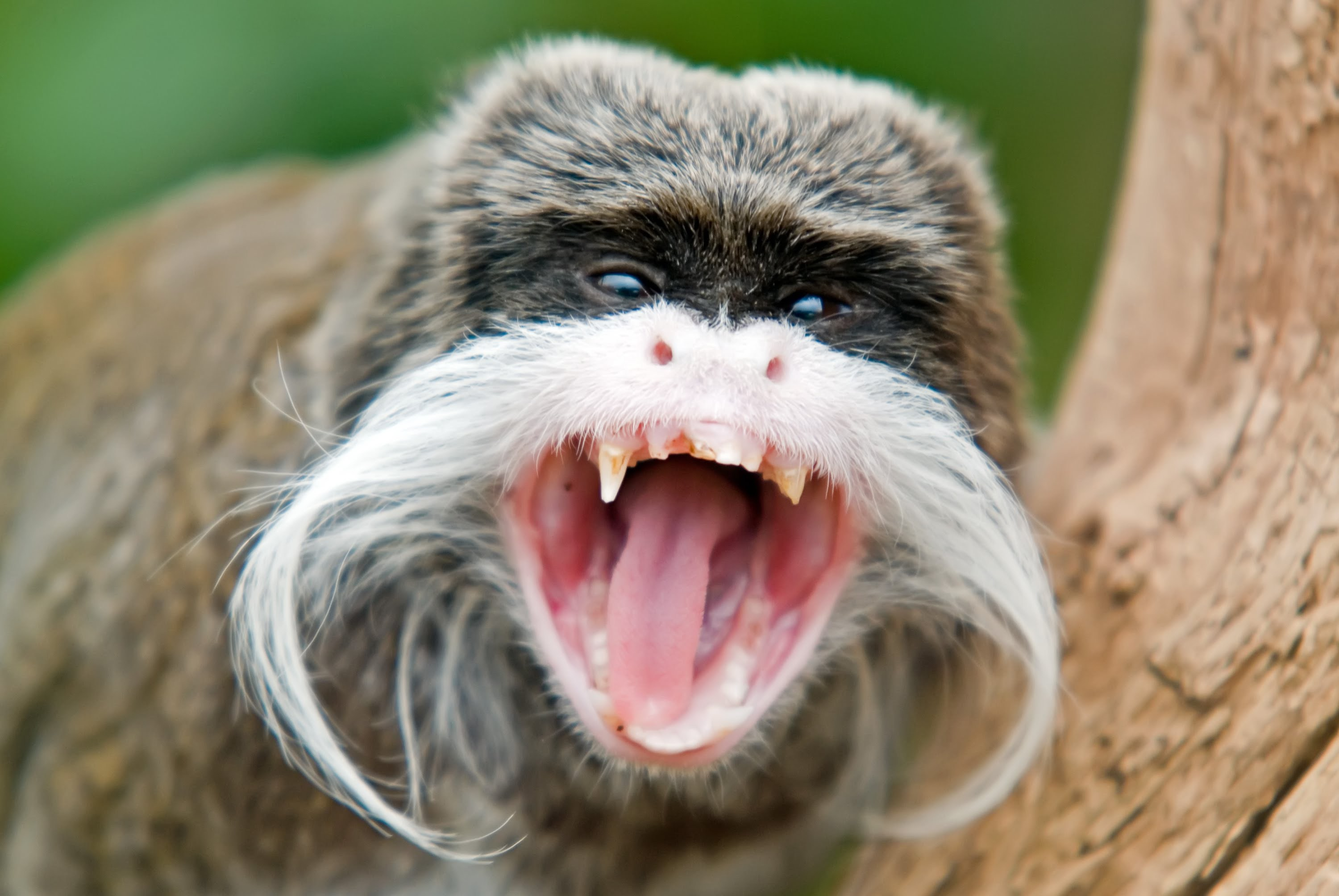 Emperor Tamarin High Definition Wallpapers