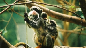 Emperor Tamarin Photos
