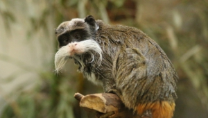 Emperor Tamarin Wallpapers HD