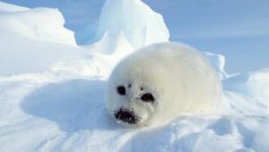 Harp Seal HD Background