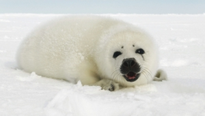 Harp Seal High Definition Wallpapers