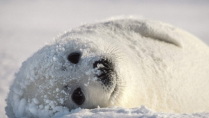 Harp Seal High Quality Wallpapers