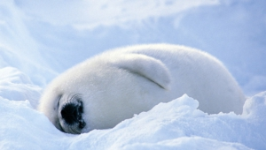 Harp Seal Photos