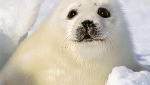 Harp Seal Wallpapers