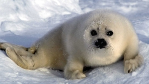 Harp Seal Wallpapers HD