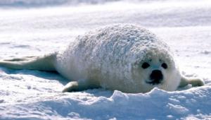 Harp Seal For Desktop