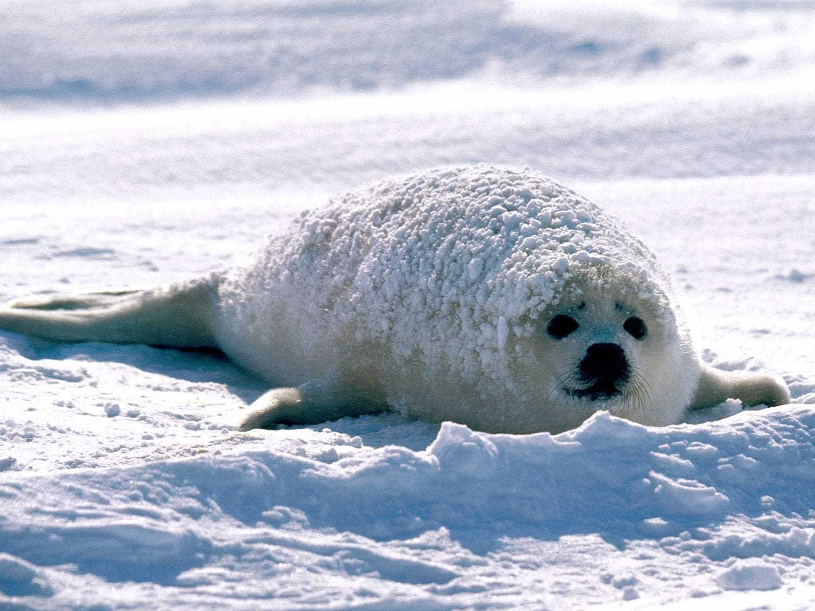 Harp Seal For Desktop