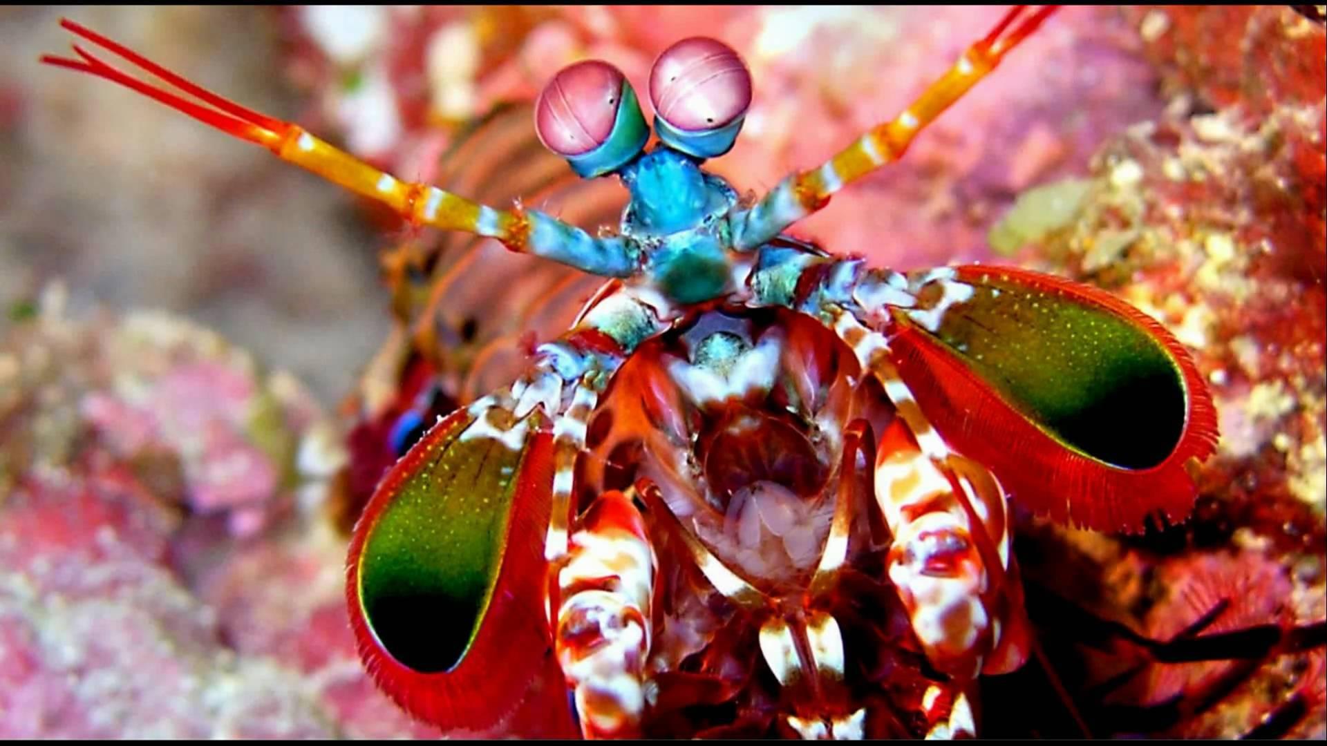 Mantis Shrimp Background