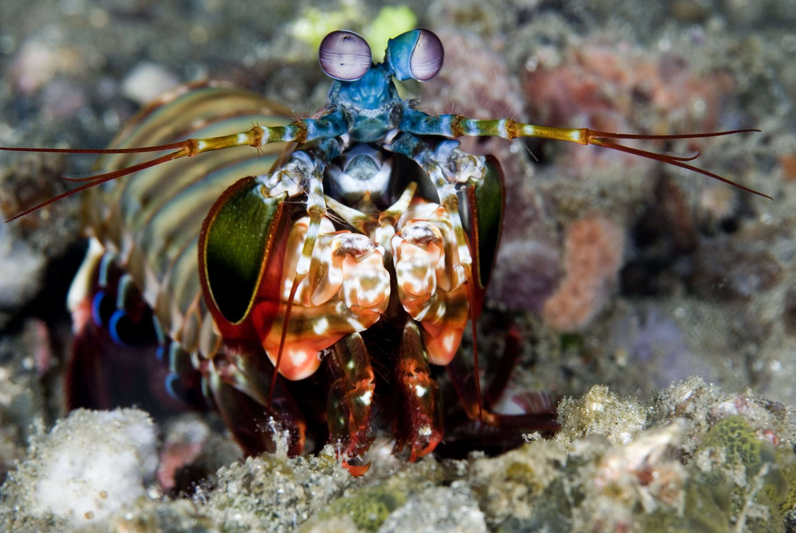 Mantis Shrimp Computer Wallpaper