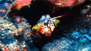 Mantis Shrimp Desktop