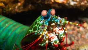 Mantis Shrimp HD Background