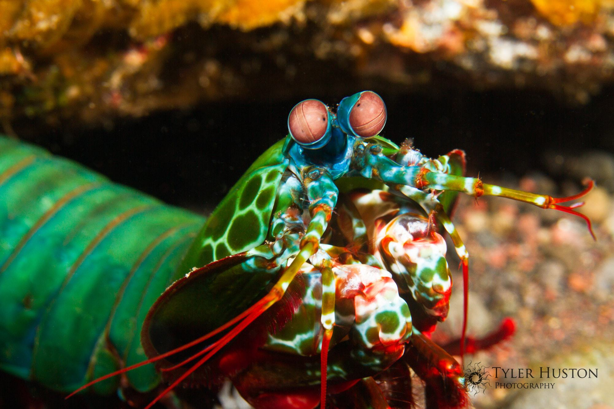 Mantis Shrimp HD Background
