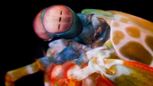 Mantis Shrimp HD Desktop