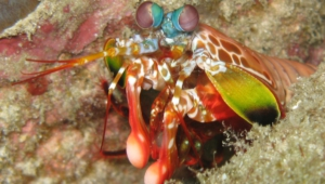 Mantis Shrimp HD Wallpaper