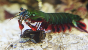 Mantis Shrimp Pictures