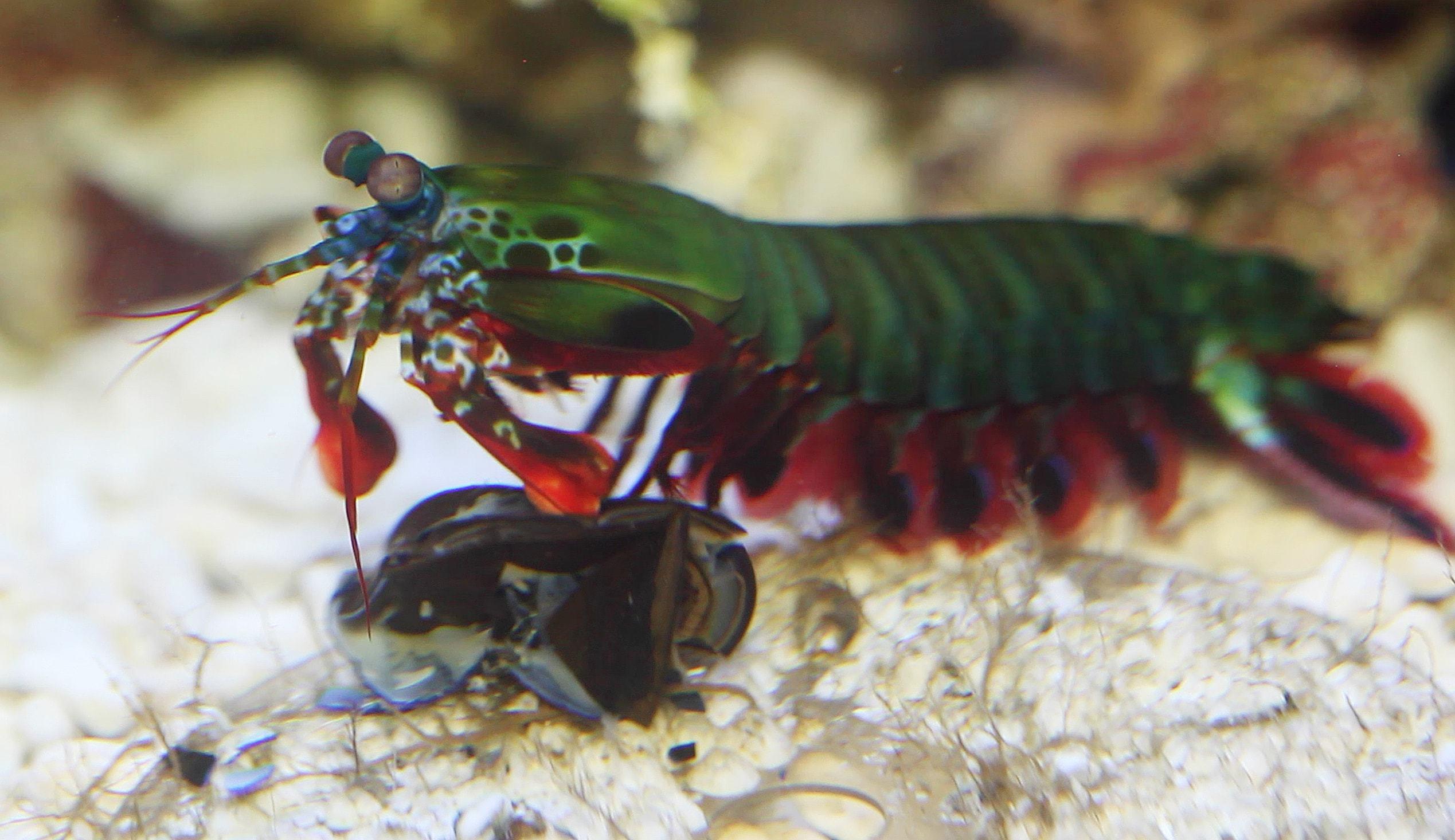 Mantis Shrimp Pictures
