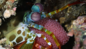 Mantis Shrimp Wallpaper