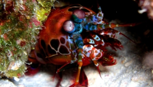 Mantis Shrimp Wallpapers
