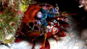 Mantis Shrimp Wallpapers
