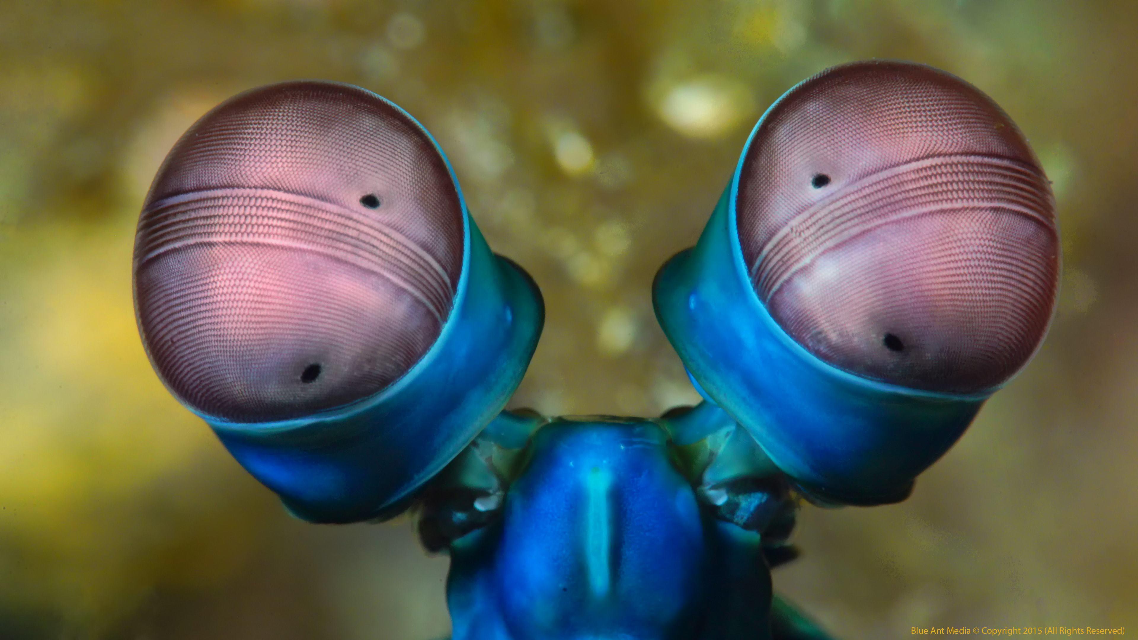 Mantis Shrimp Widescreen