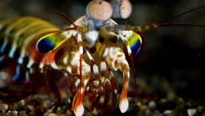 Mantis Shrimp For Desktop