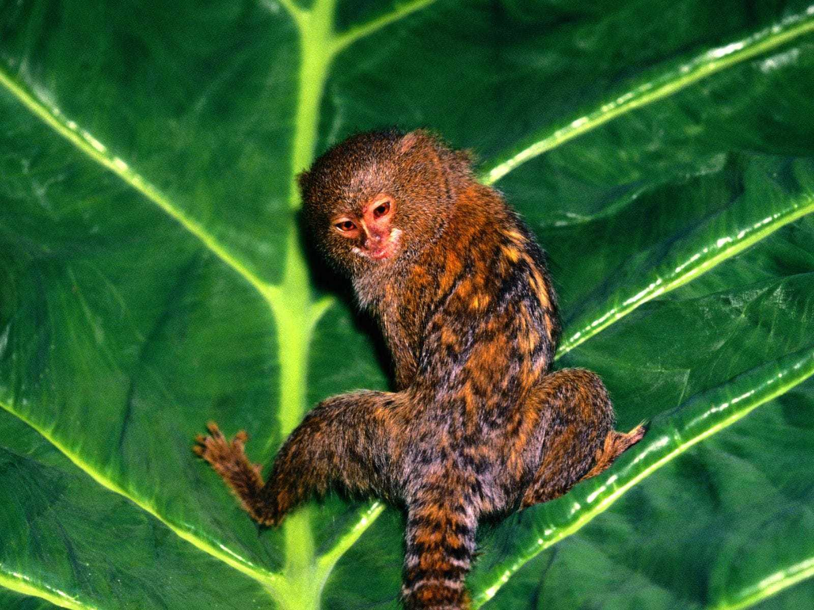Marmoset Monkey HD Background