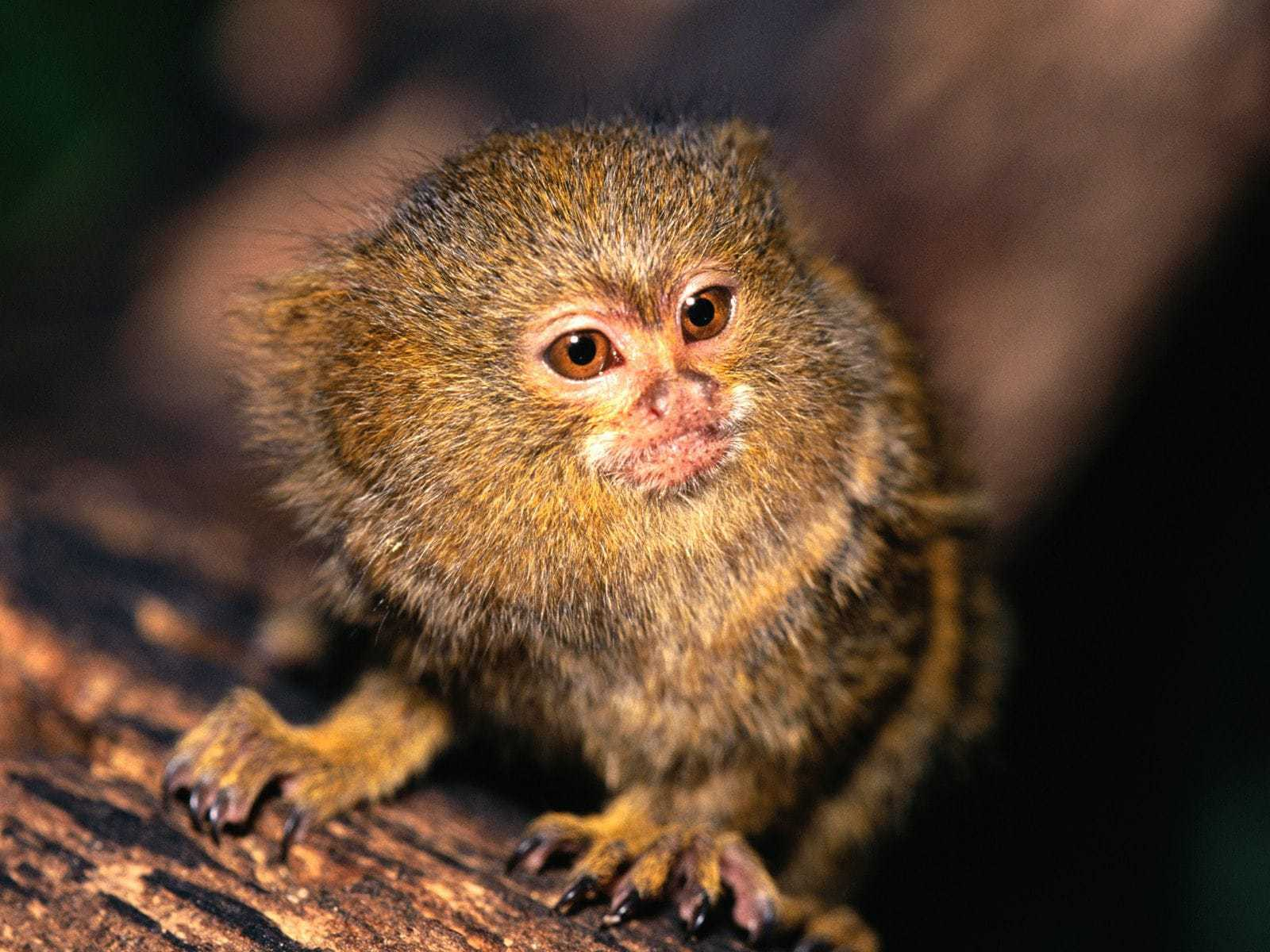 Marmoset Monkey HD Desktop