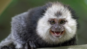 Marmoset Monkey High Definition Wallpapers