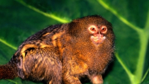 Marmoset Monkey High Quality Wallpapers
