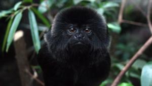 Marmoset Monkey Images