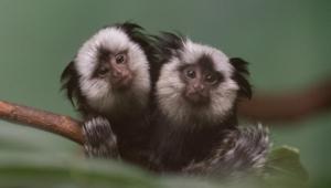 Marmoset Monkey Wallpapers HD