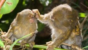 Marmoset Monkey Widescreen
