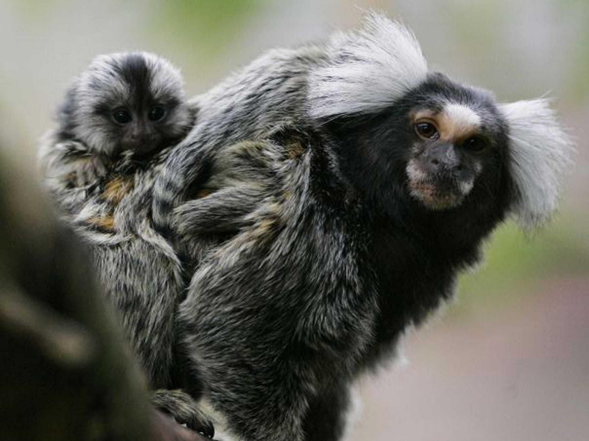 Marmoset Monkey For Desktop