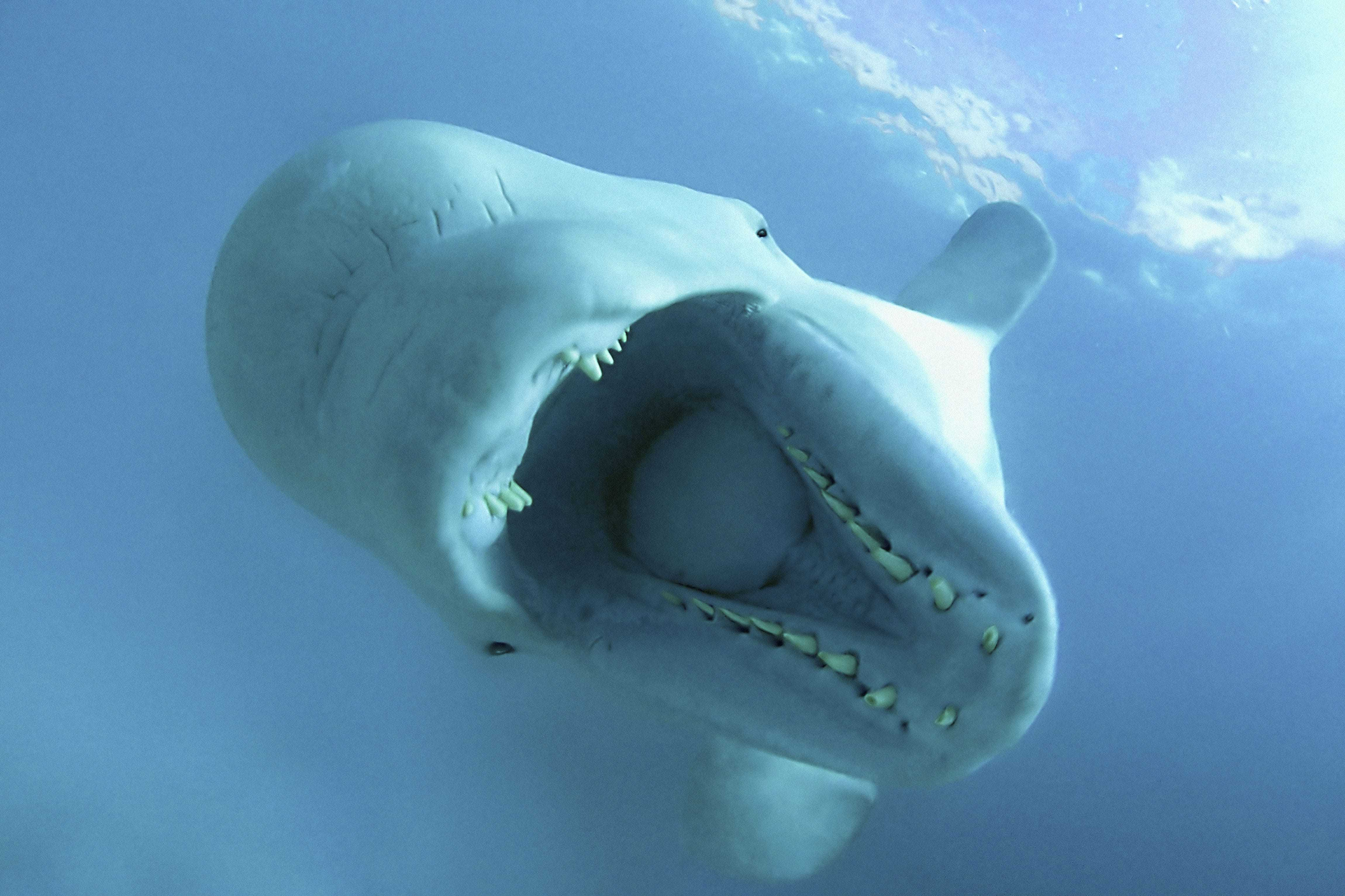 Pictures Of Beluga Whale