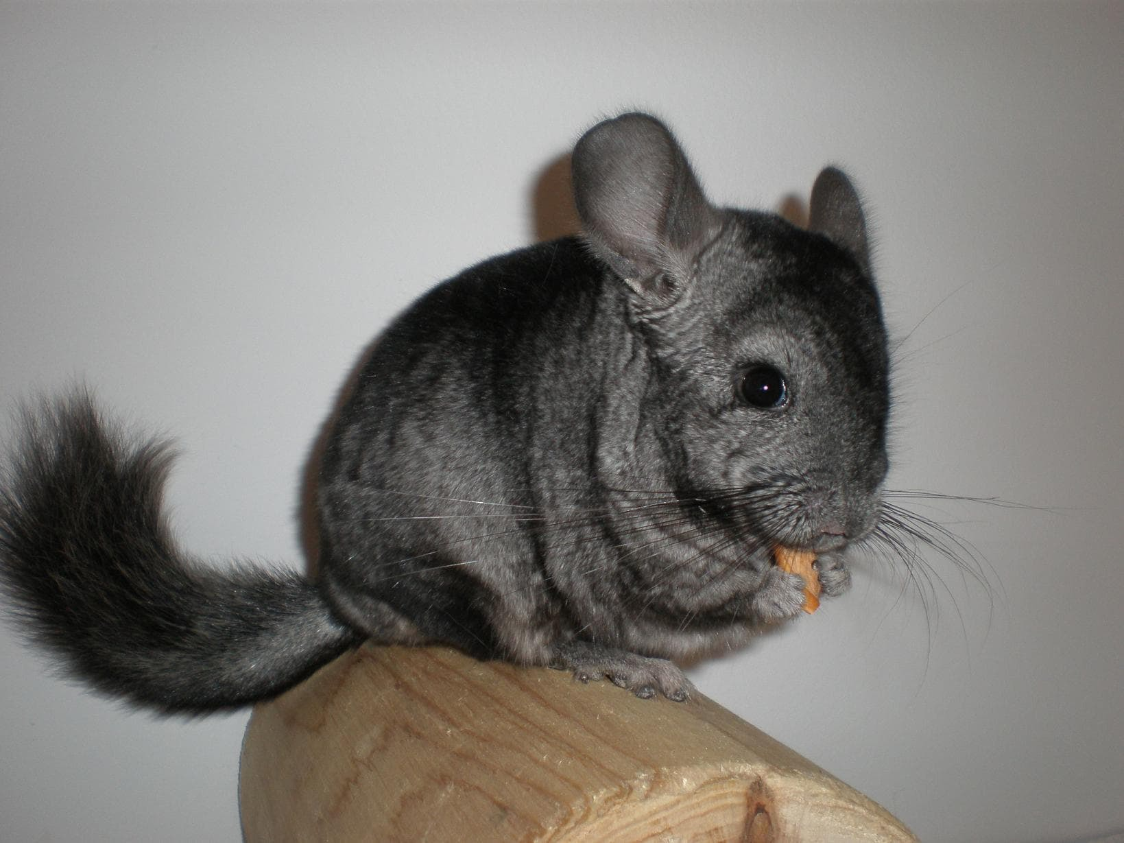 Pictures Of Chinchilla