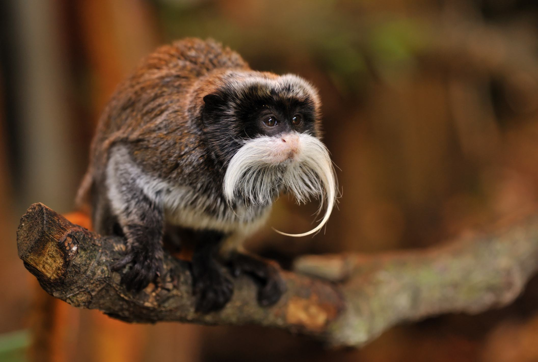 Pictures Of Emperor Tamarin