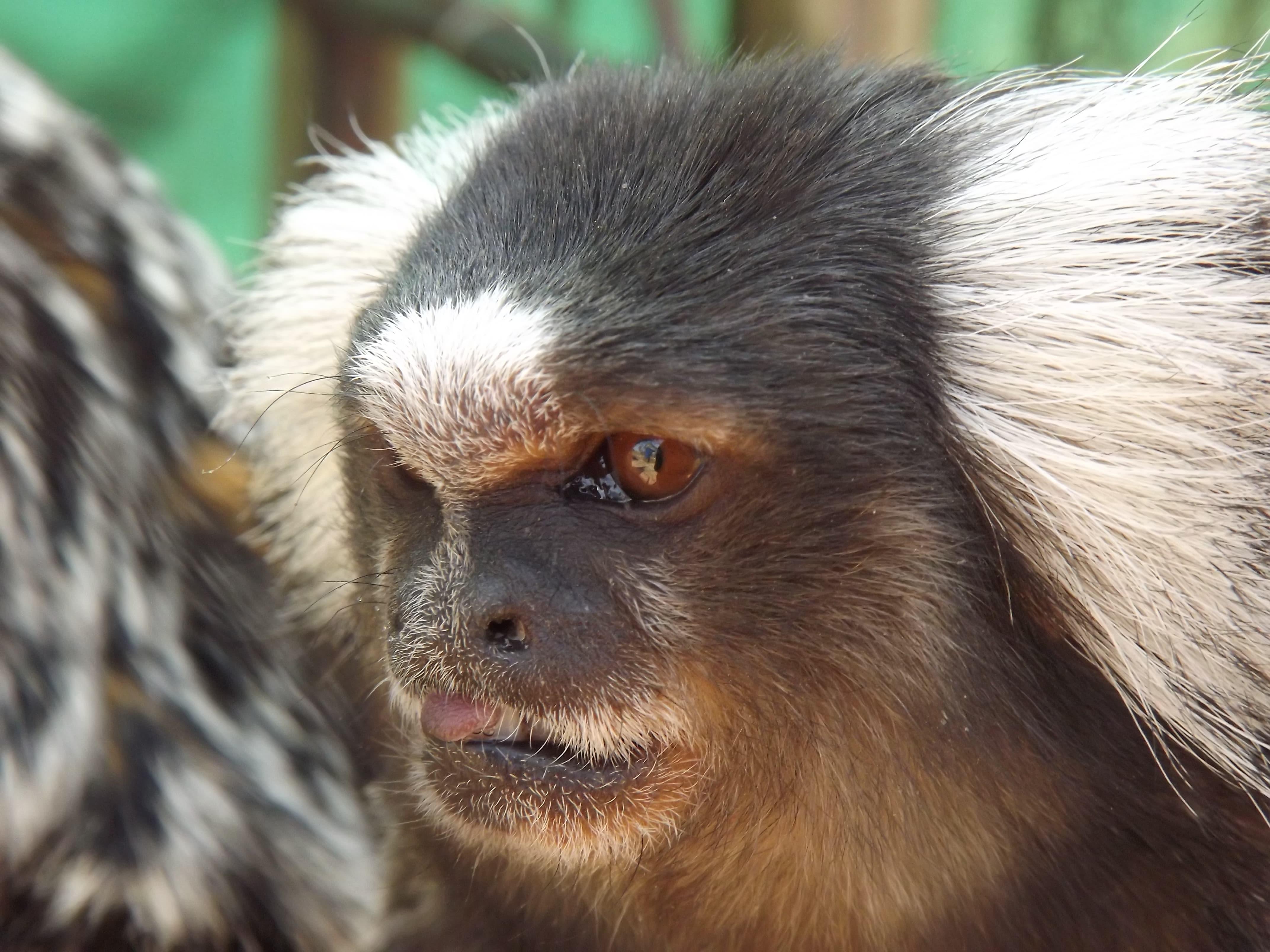 Pictures Of Marmoset Monkey