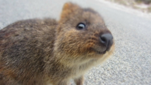 Quokka High Definition Wallpapers