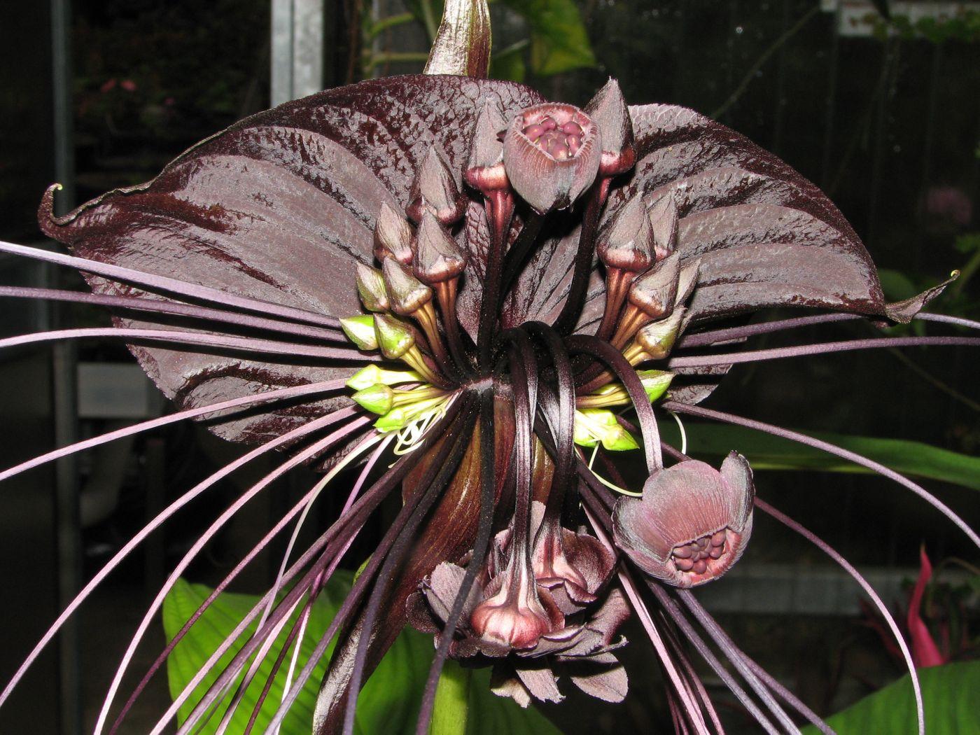 Black Bat Flower Images