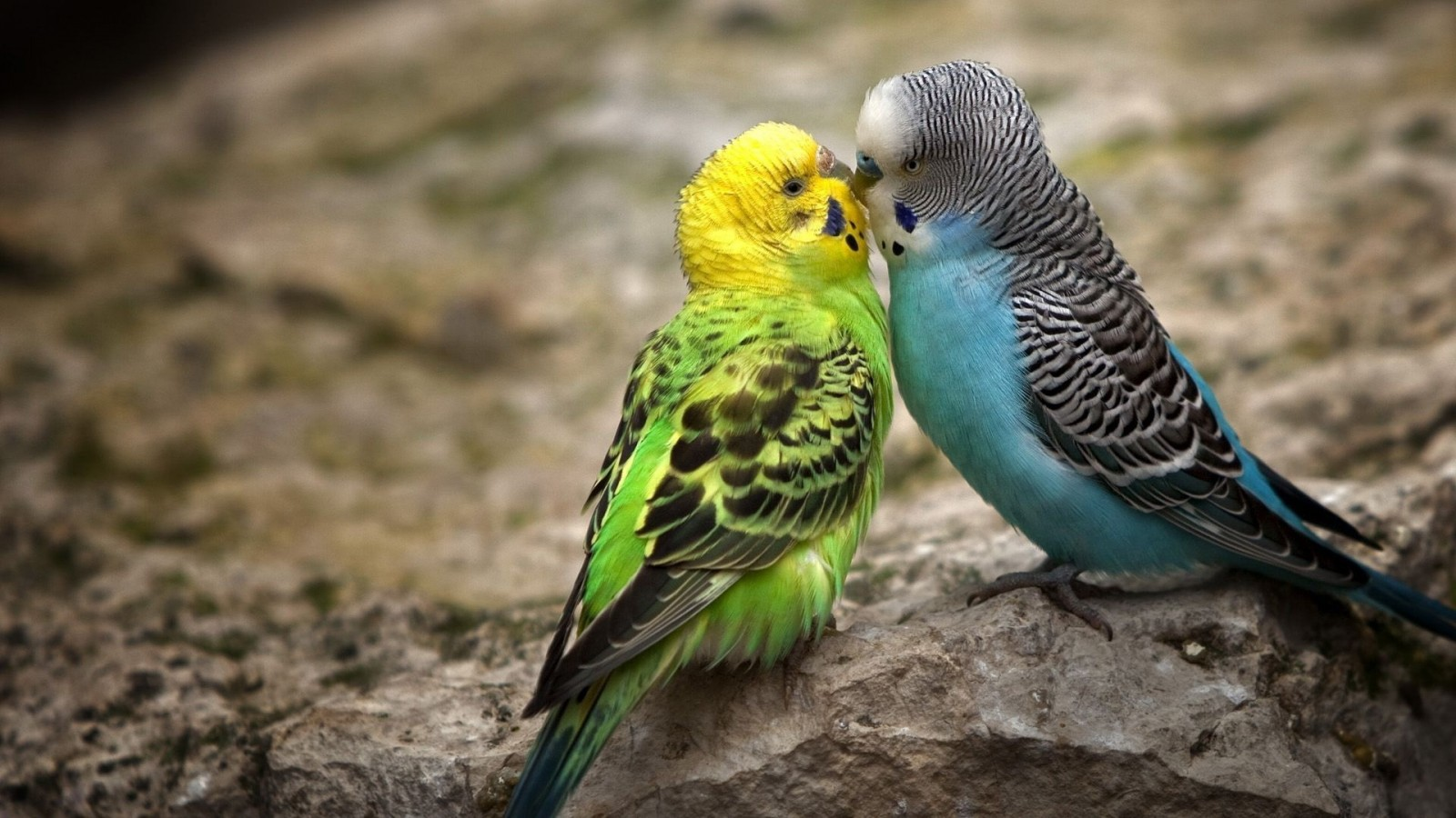 Budgie Wallpapers HD