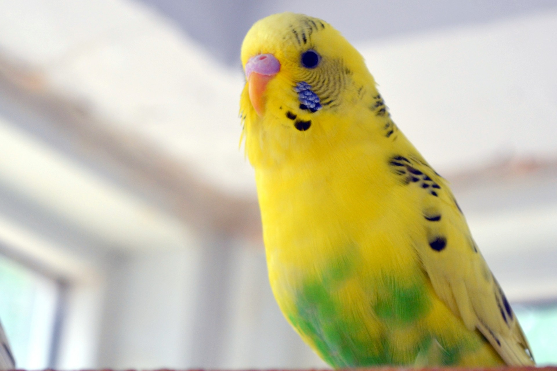 Budgie Widescreen