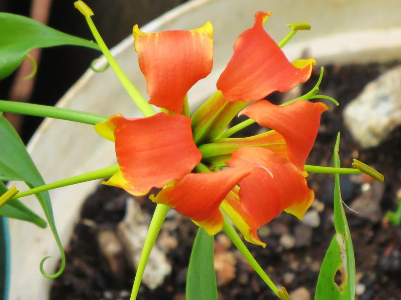 Flame Lily High Definition Wallpapers