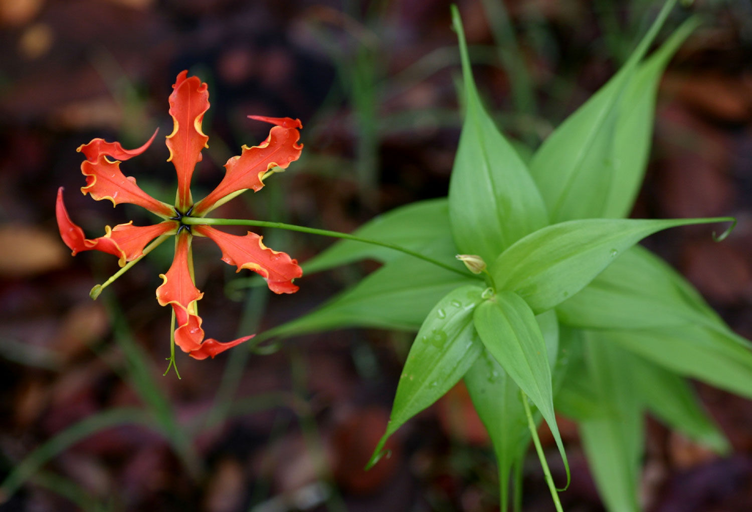 Flame Lily Images