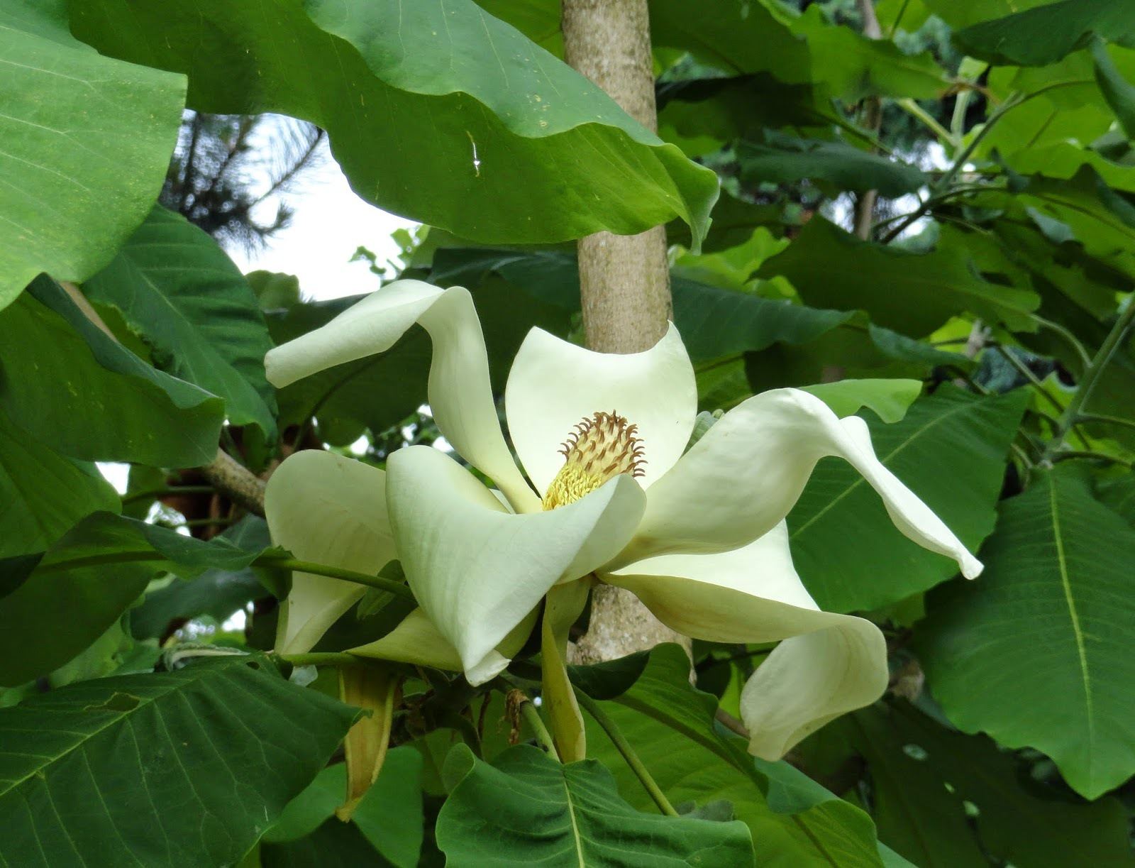 Magnolia Macrophylla High Quality Wallpapers