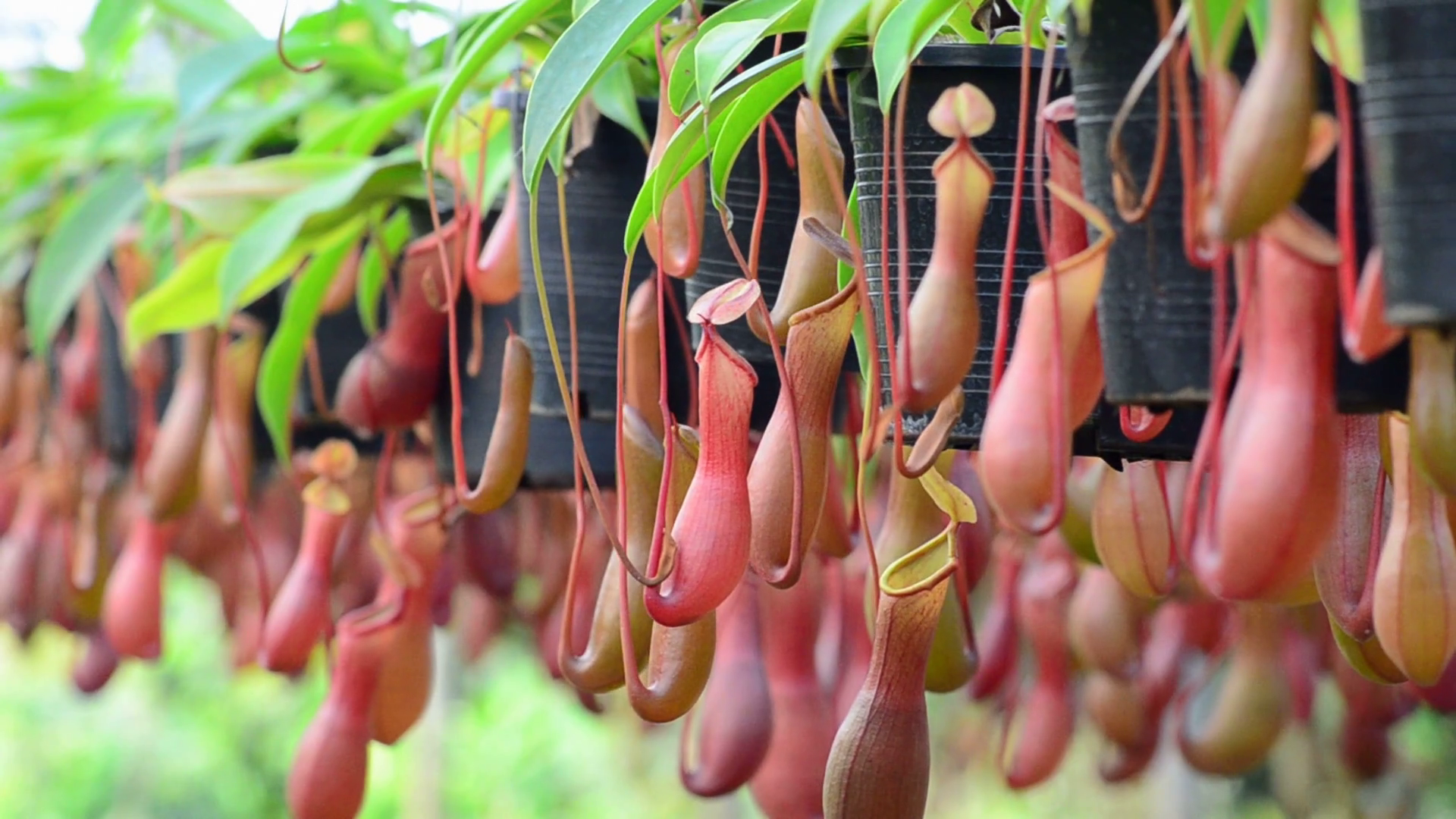 Nepenthes Tenax HD